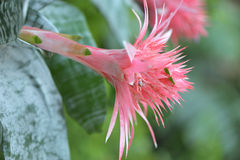 Pink Bromeliad Flower Stock Images