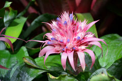 Pink bromeliad in the garden. Royalty Free Stock Photos