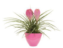 Pink bromeliad plant in a pink flower pot Royalty Free Stock Photography