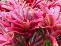 Pink Bromeliad. Pink rainforest bromeliads in the treetops Stock Photos