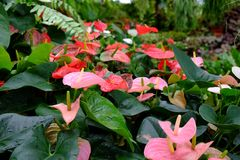 Anthurium. Pink bromeliad shot in natural light Stock Photos