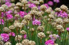 Pink and brown armeria flowers Stock Images
