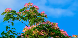 Pink brush flowers blooming on trees Stock Photos
