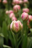 Pink bud Stock Photography