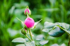 Pink bud in the garden stock image