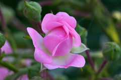 Pink bud of garden rose. A gently pink bud of a garden rose on a green background stock image