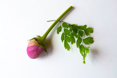Pink bud with green leaves. Pink bud on white paper with green leaves Royalty Free Stock Photos