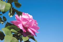 Pink bud of rose Stock Photos