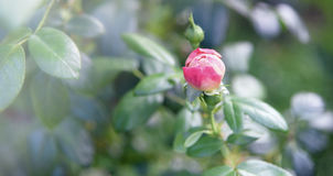 Pink bud rose in a flowers garden Royalty Free Stock Image