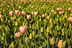 Pink budding and blooming tulip bulbs in early morning sunlight Stock Images
