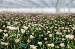 Pink budding and flowering Chrysanthemums Royalty Free Stock Photo