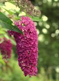 Pink Buddleia. Close up on bokeh Royalty Free Stock Image