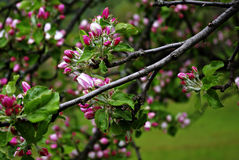 Pink Buds. A branch with fresh pink buds at cold spring day Stock Photos