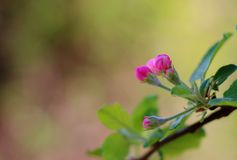 Pink buds on an apple branch royalty free stock photography