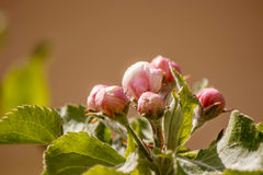 Pink buds of Apple trees on an ochre background Royalty Free Stock Photos