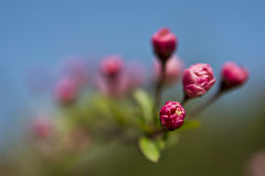 Pink buds. Of Chinese  flowering crab-apple Royalty Free Stock Photo