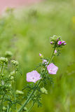 Pink buds and flowers of a Musk Mallow plant royalty free stock image
