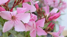Pink Buds and Flowers stock video footage