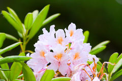 Pink buds of rhododendrons Stock Images