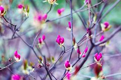 Pink buds of spring flowers in blossom garden. Branches of blooming trees. Stock Photos