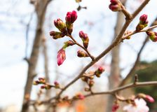 Pink buds of trees. Beautiful nature scene with blooming sakura tree. Jpg stock image