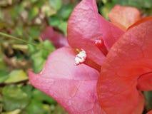 Pink Bugambilia stock image