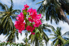 Pink bugenvillia flowers against palm tree crowns. Pink bugenvillia flowers against palm tree Stock Photography