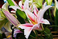 Pink of bunch lily flower. Bunch of lily flower and green leaf Stock Photos