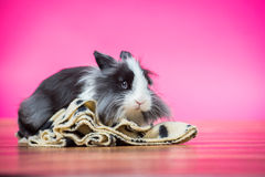 Pink Bunny in studio. Cute black and white bunny rabbit sitting on a blanket Royalty Free Stock Images