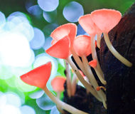 Pink burn cup or Fungi cup Royalty Free Stock Photo