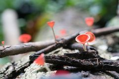 Pink burn cup or Mushroom champagne. In rainforest Royalty Free Stock Photo