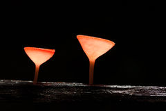 Pink Burn Cup mushroom Royalty Free Stock Photos