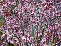 Pink bush Stock Image