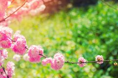 Pink bush blossoms in spring with pink flowers. natural wallpaper. concept of spring. background for design.  stock images