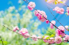 Pink bush blossoms in spring with pink flowers and blue sky. natural wallpaper. concept of spring. background for design. Cherry S stock photos