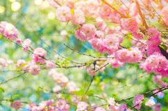 Pink bush blossoms in spring with pink flowers. natural wallpaper. concept of spring. background for design.  royalty free stock photo