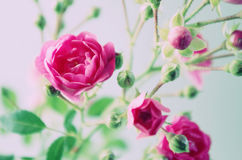 A pink bush rose Royalty Free Stock Photos