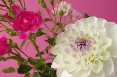 A pink bush rose and dahlia Royalty Free Stock Photos