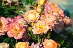 Pink bush. Stock Photography
