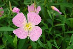 Pink buttercup flowers Stock Photography