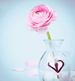 Pink buttercup in glas vase with heart on blue Royalty Free Stock Photo