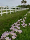 Pink Buttercups along a white fence. On a country road with a palm tree in the royalty free stock photos