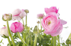 Pink buttercups Royalty Free Stock Images