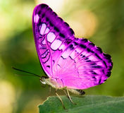 Pink butterfly. On a green leaf Stock Images