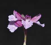Pink Butterfly Orchid Royalty Free Stock Photography