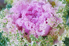 The Pink cabbage. Pink decorative head cabbage growing in the garden Stock Photos