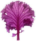 Pink cabbage leaf. Stock Photos