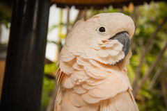 Pink cacadu. Cacadu parrot, wildlife in Bali birds and reptiles park, Bali, Indonesia Royalty Free Stock Photo