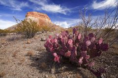 Pink Cactus. A pink cactus in the desert stock photography
