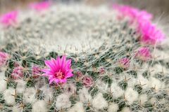 Pink cactus flower Royalty Free Stock Images